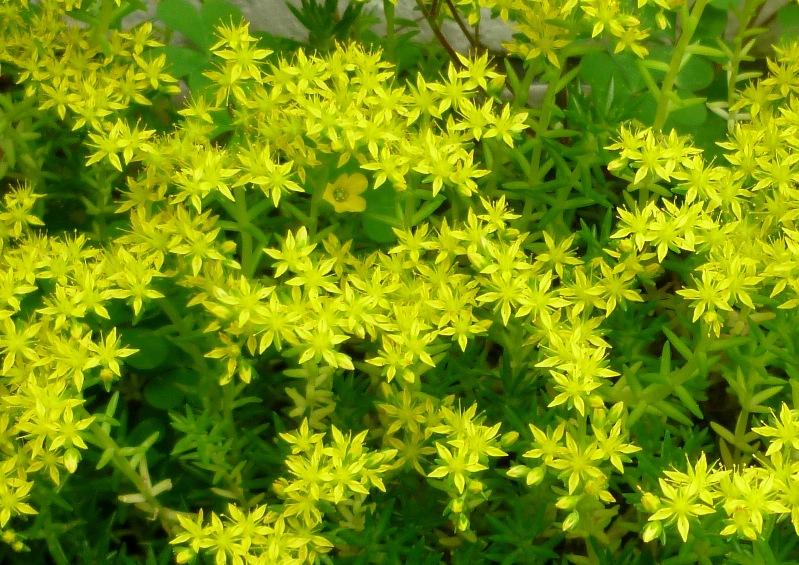 種類も豊富で多彩!魅惑の多肉植物セダムの育て方まとめてみましたのサムネイル画像