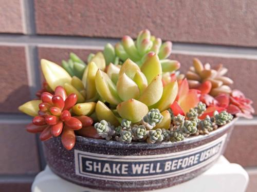 多肉植物が可愛いと人気!風水アイテムとしてもかなり優秀です。のサムネイル画像