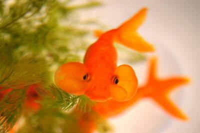 日本の夏の風物詩。可愛い金魚たちに癒される人が急増中らしいのサムネイル画像