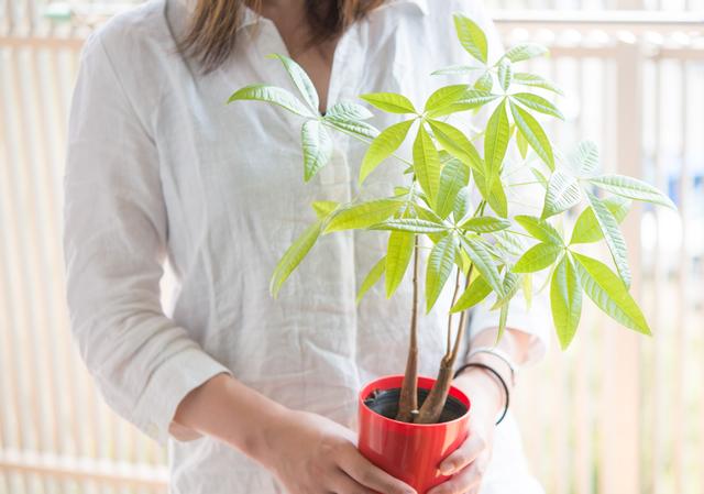 【パキラを置いて運気UP!】発財樹と呼ばれるパキラの風水効果のサムネイル画像