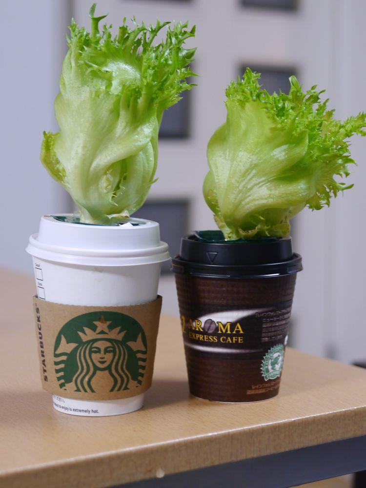 意外と簡単に育てられる!?レタスの水耕栽培にチャレンジしようのサムネイル画像
