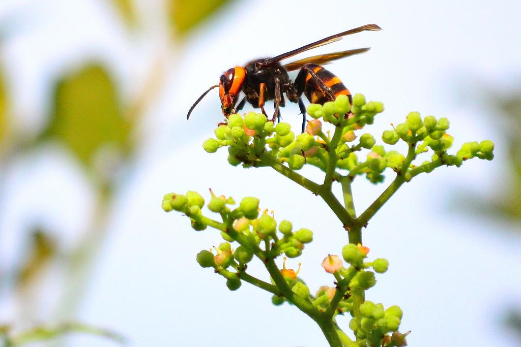 スズメバチを侮るな!スズメバチの巣の駆除に関する知識を持とう!のサムネイル画像