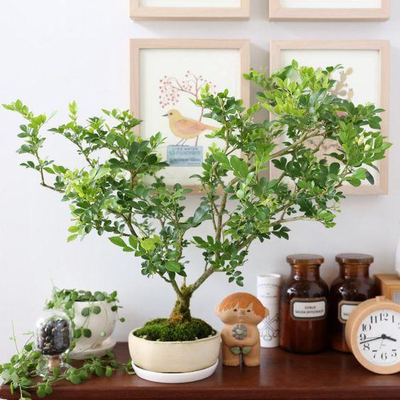 お部屋のインテリアにぴったりの観葉植物!シルクジャスミン♡のサムネイル画像