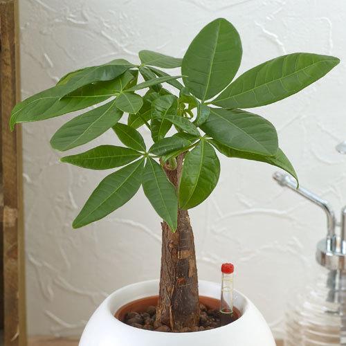 観葉植物で運気UP!パキラがインテリアに人気の理由とおすすめサイズのサムネイル画像