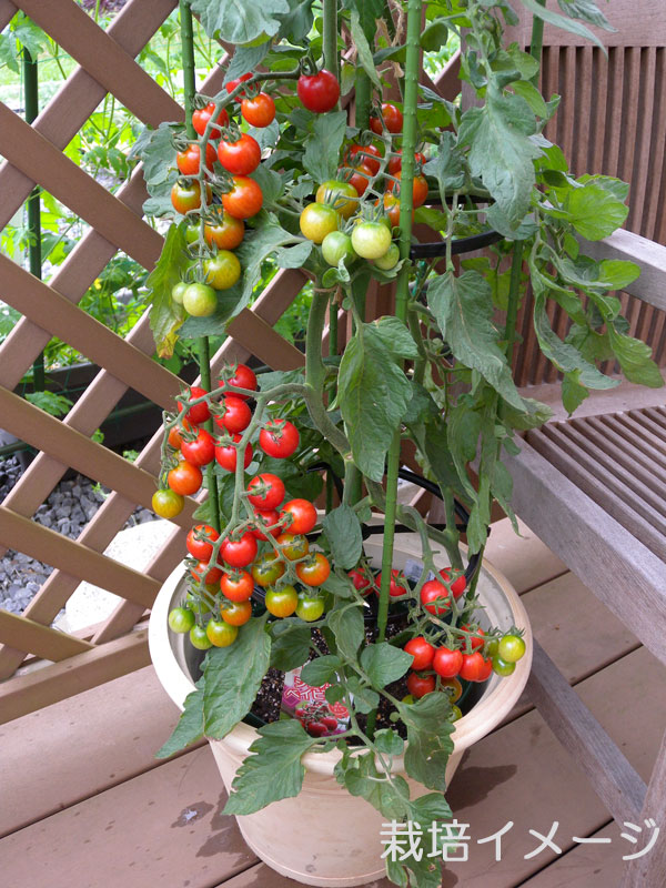 美容にも健康にも最適!トマトをプランターで栽培してみよう!のサムネイル画像