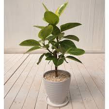 観葉植物を長く楽しむために☆成長とともに鉢に植え替えましょうのサムネイル画像