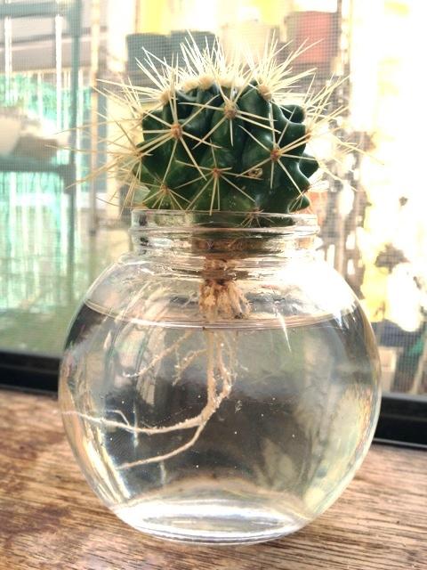 【土は不要!】サボテンは水栽培できる!カンタンでオシャレな水栽培のサムネイル画像