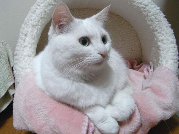 猫ちゃんのためにベッドを選ぼう!オススメ猫ベッドをご紹介!!のサムネイル画像