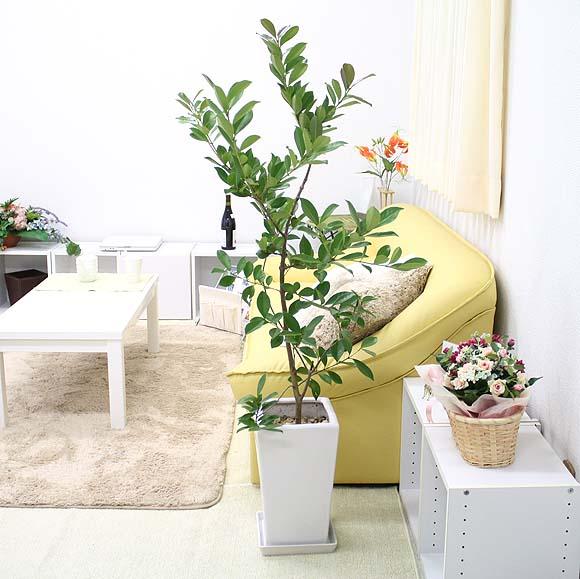 存在感バツグン!開店祝いとしても好まれる大型の観葉植物まとめのサムネイル画像