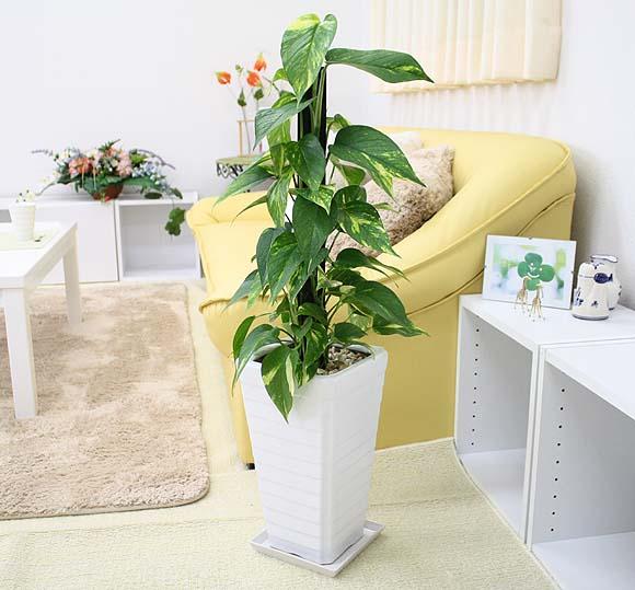 観葉植物ポトスで癒しインテリア!マネしたい飾り方のアイデア7選♪のサムネイル画像