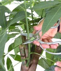 元気に育てる為に!意外とよく知らない観葉植物の葉の手入れ方法のサムネイル画像