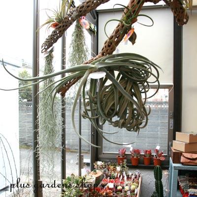 葉っぱも幹も個性的!形が面白い観葉植物を集めてみました!のサムネイル画像