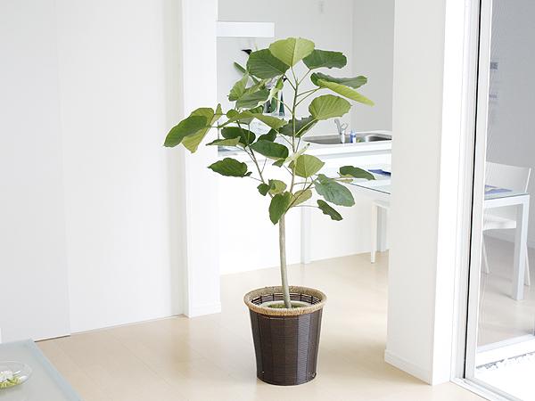 これからの時期にピッタリ!寒さに強い大鉢の観葉植物まとめのサムネイル画像
