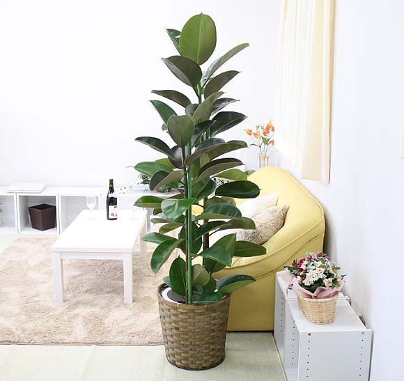 お部屋の彩りに!贈り物にもGOOD☆大きいサイズの観葉植物まとめのサムネイル画像