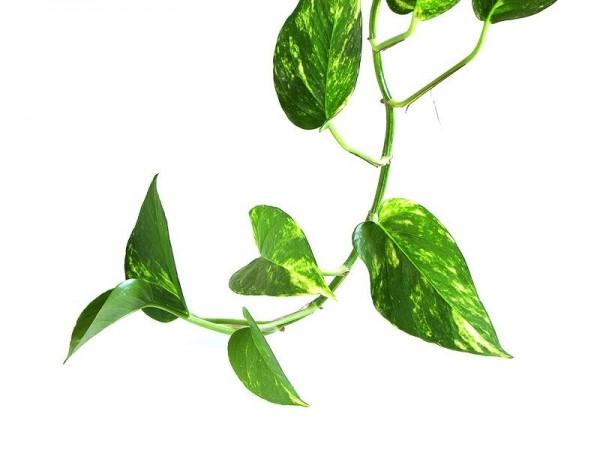 観葉植物初心者におすすめ!ポトスを思いっきり楽しむ5つの方法!のサムネイル画像