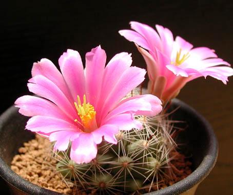 サボテンは花が咲かない?サボテンに花を咲かせる育て方をご紹介。のサムネイル画像