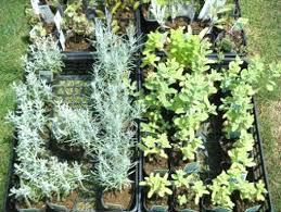 ハーブは園芸初心者にピッタリ!いろいろな用途に使える丈夫な植物!のサムネイル画像