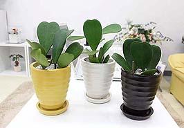 可愛い!贈り物にも喜ばれそうなハートの葉を持つ観葉植物まとめのサムネイル画像