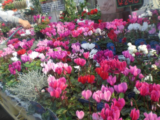 冬でも綺麗な花を楽しみたい!寒さに強い花の咲く観葉植物まとめのサムネイル画像