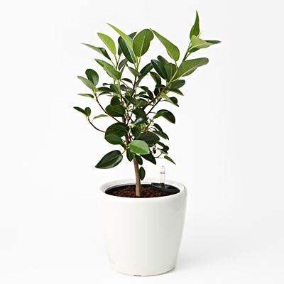 自宅にお店に!よく見かける人気の観葉植物「ゴムの木」あれこれのサムネイル画像