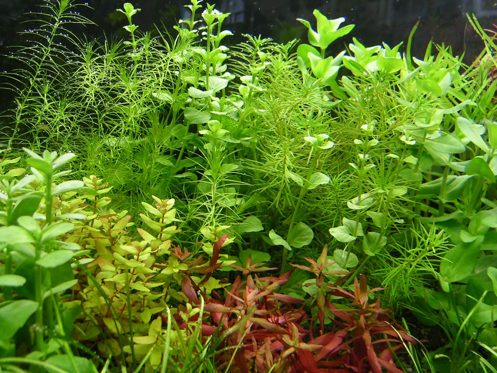 【初心者におすすめ】水槽に植えたい美しくて育てやすい水草をご紹介のサムネイル画像