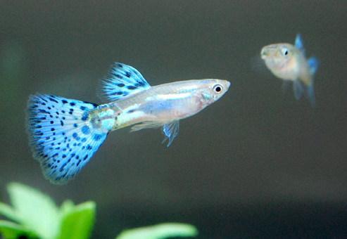 初心者にオススメ!飼育しやすい熱帯魚ってどんな熱帯魚があるの?のサムネイル画像