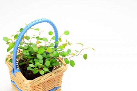 オシャレな観葉植物・ワイヤープランツの育て方や楽しみ方とは?のサムネイル画像