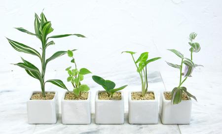 【インテリアに迷ったときはこれ!】人気の小型観葉植物4選まとめのサムネイル画像