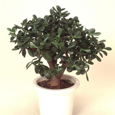 【金のなる木】園芸で大人気の多肉植物・花月の育て方まとめのサムネイル画像