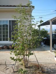 ガーデニングで人気のシンボルツリーを選ぶなら、これがおススメ!のサムネイル画像