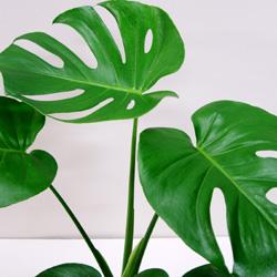 葉っぱの切込みが特徴!観葉植物モンステラの魅力と育て方!のサムネイル画像