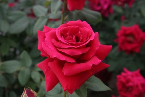 園芸初心者でも大丈夫!憧れのバラの育て方や知識をご紹介。のサムネイル画像