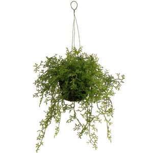 置くだけじゃもったいない観葉植物!「ハンギング」でおしゃれに飾るのサムネイル画像