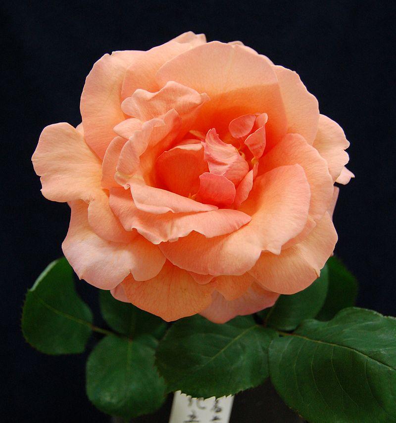 美しい大輪のバラが咲くバラガーデン!バラガーデンへようこそのサムネイル画像