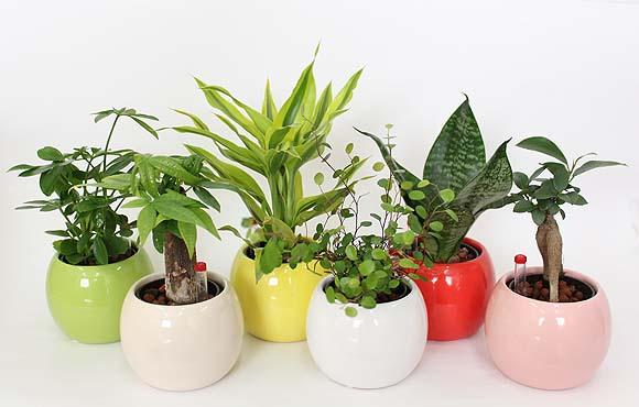 ミニ観葉植物ならどんな部屋でも大丈夫!~人気のミニ観葉植物~のサムネイル画像