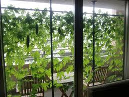 緑のカーテンをベランダに☆エコで涼しい緑のカーテンを育てよう!のサムネイル画像