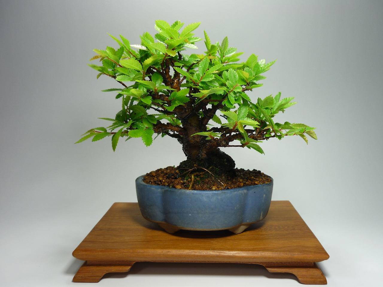 素敵な鉢で可愛いミニ盆栽♪ 癒しの空間作りはじめてみませんか?のサムネイル画像