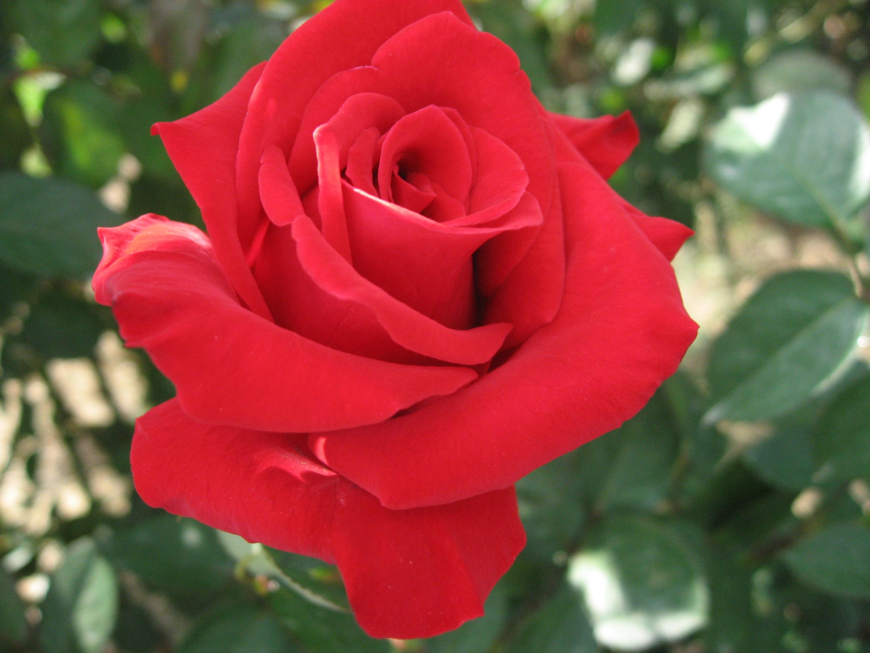 薔薇を綺麗にたくさん咲かせよう☆薔薇の栽培方法をご紹介☆のサムネイル画像