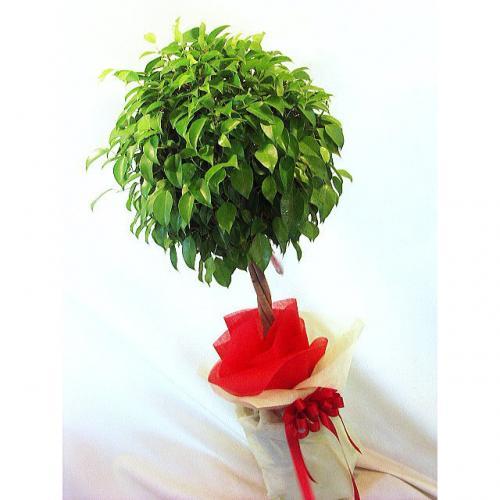 新築祝いや開店祝いにもオススメ!お祝いに観葉植物を贈ろうのサムネイル画像