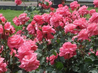 【バラを育てる、その前に】色々な国のバラ、ご紹介します。のサムネイル画像