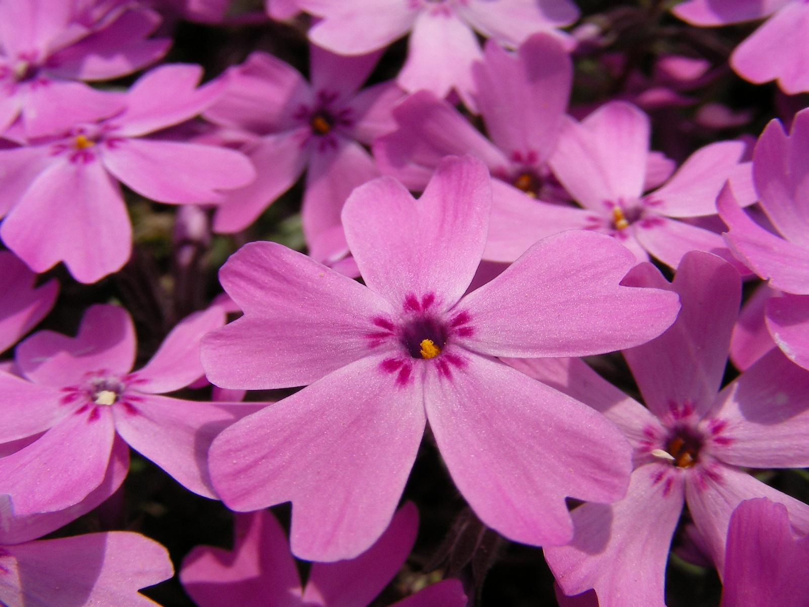 春には庭いっぱいに芝桜の絨毯♪芝桜ガーデニングしてみませんか?のサムネイル画像