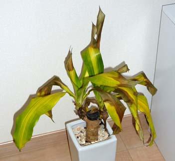 観葉植物が枯れた?!大事な観葉植物が枯れた時の対処法まとめのサムネイル画像