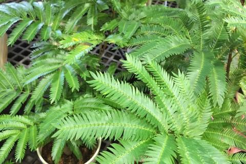 【人気の観葉植物】育ててみよう!観葉植物・エバーグリーンのサムネイル画像