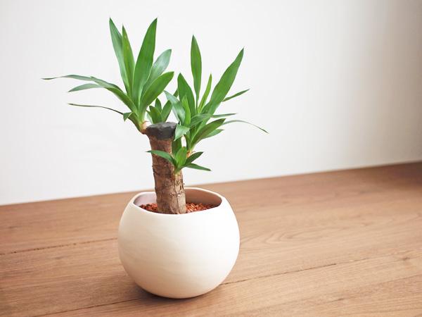 【こんな場面にいかが?】場面別贈答にオススメの観葉植物まとめのサムネイル画像