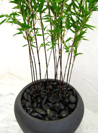 黒竹は、茎が黒い竹です。鉢植えで育てるには、水やりに注意を!のサムネイル画像