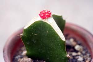 三角柱とは、通称で、サンカクサボテンと呼ばれている植物です!のサムネイル画像