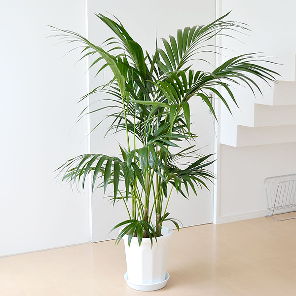 植物も成長する・・・観葉植物の植え替えの時期や方法を教えて!のサムネイル画像