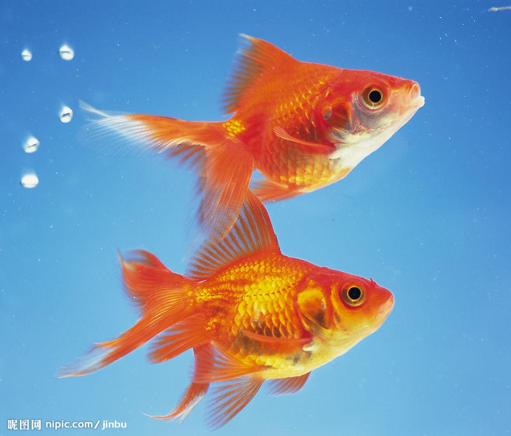 疲れた心に効く、癒し効果のある人気の金魚を種類別にご紹介しますのサムネイル画像