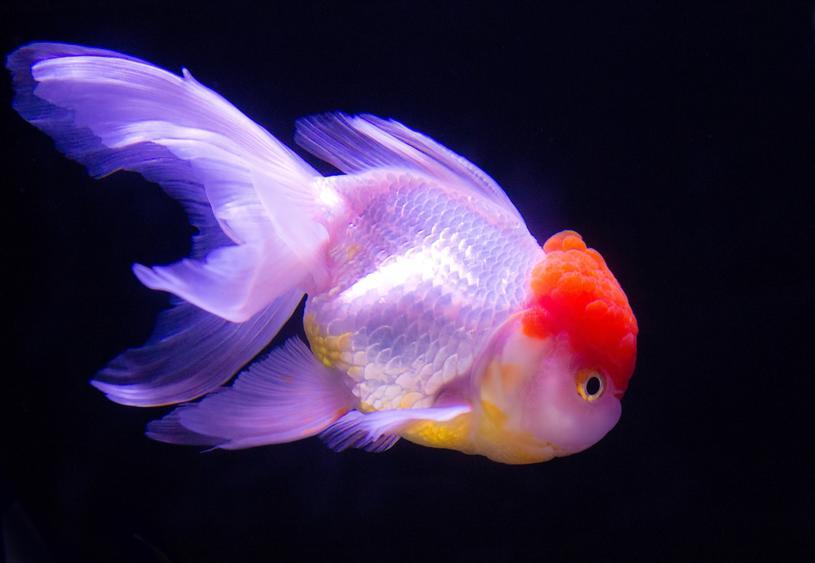一番身近な観賞魚!金魚を飼ってみませんか?飼い方を調べました。のサムネイル画像