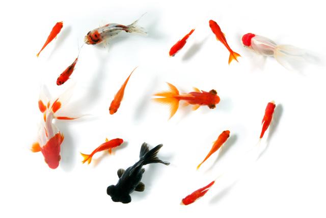 初心者にもオススメのペット!知っておきたい金魚の育て方まとめのサムネイル画像